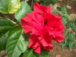 Kauai hibiscus flower